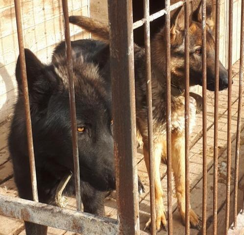 Wolf hybrids. Щенки. Гибриды волка - 1
