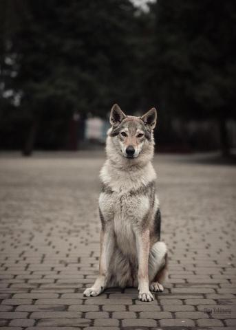 Чехословацкая волчья собака. Щенки. - 1