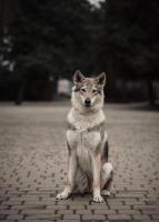 Чехословацкая волчья собака. Щенки. - Изображение 1