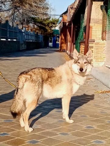 Чехословацкая волчья собака. Щенки. - 3