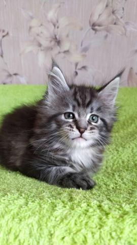 Продам котят породы Мейн-кун - 1