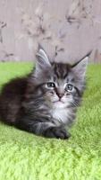 Продам котят породы Мейн-кун - Изображение 1