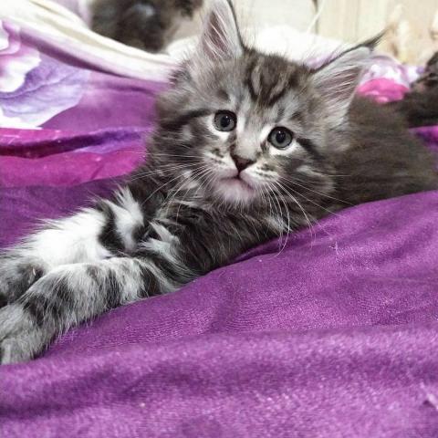 Продам котят породы Мейн-кун - 2