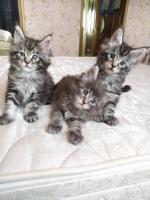 Продам котят породы Мейн-кун - Изображение 3