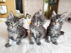 Продам котят породы Мейн-кун - Изображение 4
