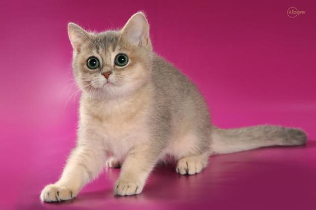 Продам котят в Кипре - 1