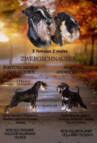 Цвергшнауцер черный с серебром щенки - 1