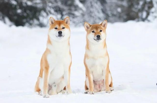 Shiba-inu puppy - 1
