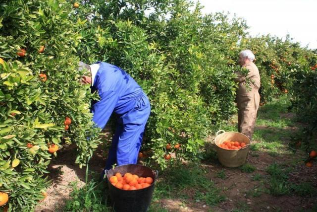 Требуются  рабочие на сбор цитрусовых - 1