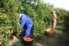 Требуются  рабочие на сбор цитрусовых