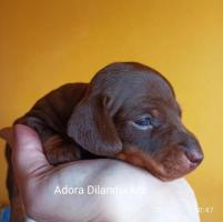 Щенок такса кроличья гладкошерстная - Изображение 2