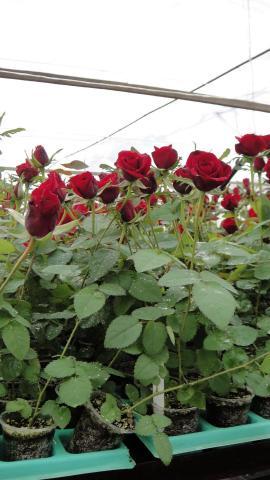 Куплю саженцы чайно-гибридной розы в  Хорватии - 1