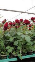Куплю саженцы чайно-гибридной розы в  Хорватии