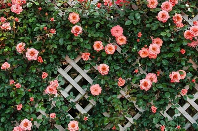 Продам  розовый Сорт  плетистой розы  в Эстонии - 1