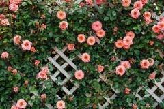 Продам  розовый Сорт  плетистой розы  в Эстонии - Изображение 1