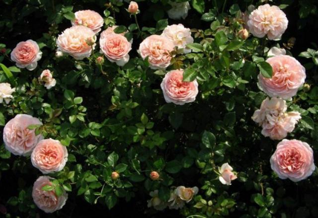 Продам  розовый Сорт  плетистой розы  в Эстонии - 2