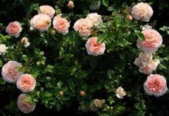 Продам  розовый Сорт  плетистой розы  в Эстонии - Изображение 2