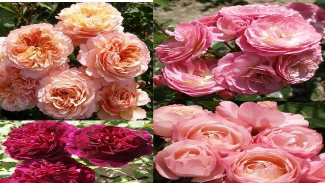 Продам  - плетистый сорт роз  в Европе - 1