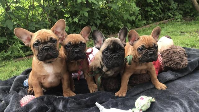 French Bulldog,  Französische Bulldogge , Buldog Francuski , французский бульдог - 1