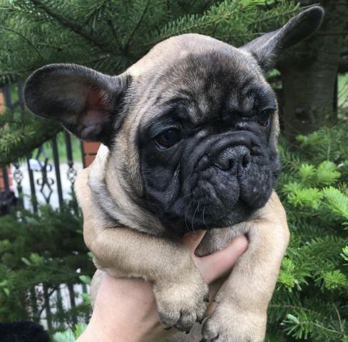 French Bulldog,  Französische Bulldogge , Buldog Francuski , французский бульдог - 3