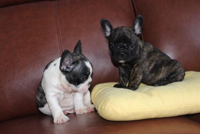 French Bulldog,  Französische Bulldogge , Buldog Francuski , французский бульдог - 5