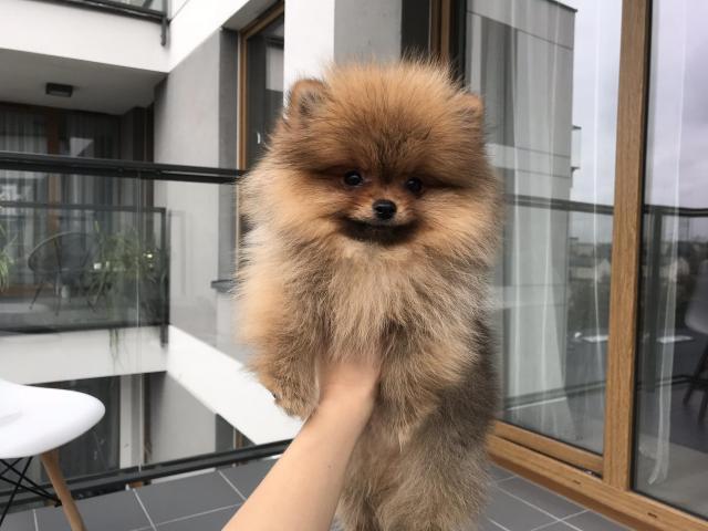 Pomeranian spitz, pommersche , BOO , померанский шпиц - 2