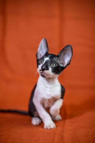 Crx   котята - 1