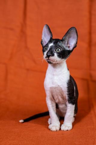 Crx   котята - 2