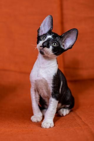 Crx   котята - 3