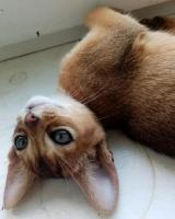 Абиссинский котик - Изображение 1