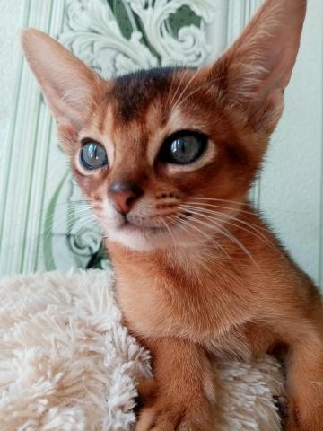 Абиссинский котик - 2