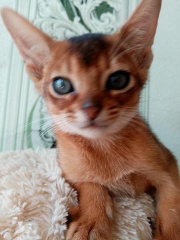 Абиссинский котик - 3