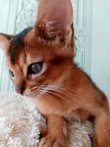 Абиссинский котик - 4