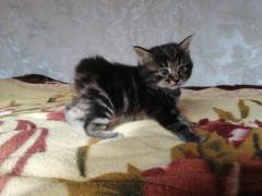 Курильский бобтейл котята - Изображение 2