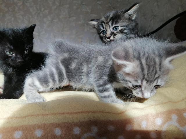 Курильский бобтейл котята - 3