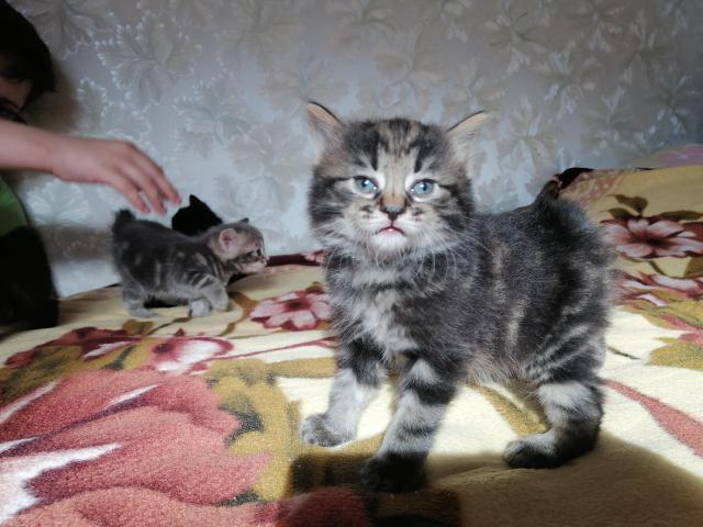 Курильский бобтейл котята - 5