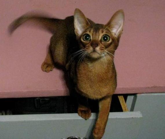 abyssinian kittens - 1