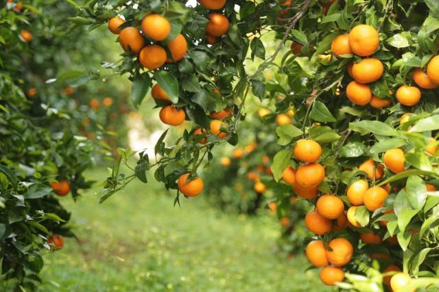 Требуются сборщики мандаринов в Испании - 1