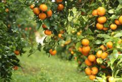 Требуются сборщики мандаринов в Испании - Изображение 1