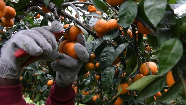 Требуются сборщики мандаринов в Испании - 2