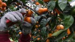 Требуются сборщики мандаринов в Испании - Изображение 2