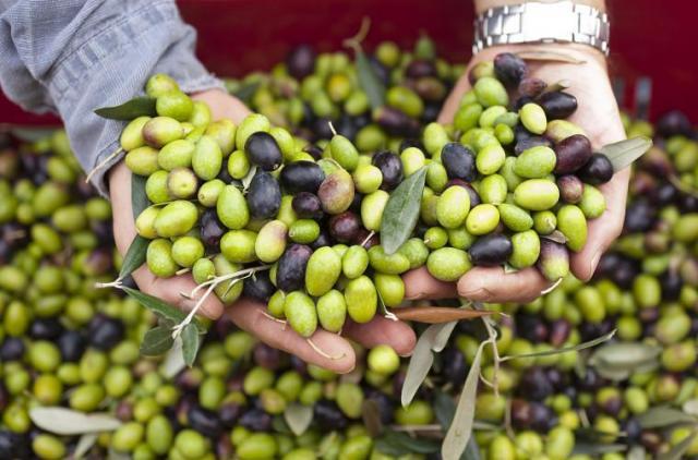 Предлагаю работу  по сбору оливок в Португалии - 1