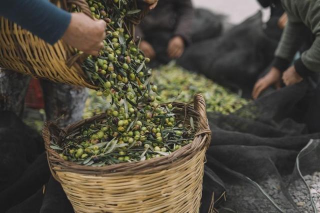 требуются рабочие на оливковые поля в Португалии - 1