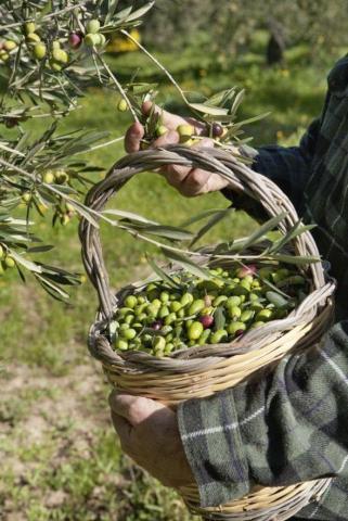 требуются рабочие на оливковые поля в Португалии - 2