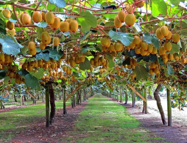 Требуются сборщики фруктов в Греции - 1