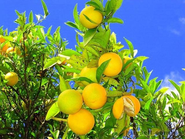 Требуются сборщики фруктов в Греции - 2
