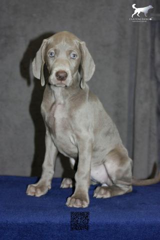 Weimaraner Puppies - 2