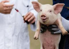 Робота на свинофермі в Німеччині