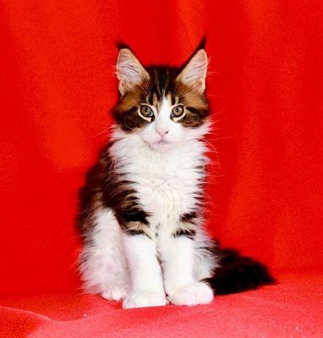 Мейн кун. Котята. - 3