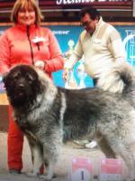 Собака, щенки кавказской овчарки